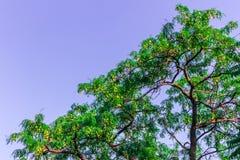 Ramificaciones superiores del árbol Fotos de archivo libres de regalías