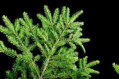 Ramificaciones verdes del abeto Foto de archivo libre de regalías
