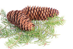 Ramificaciones y conos del árbol de navidad Imagen de archivo