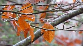 Ramifican y las hojas en invierno, Fussen, Alemania Imágenes de archivo libres de regalías