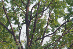 Ramificazione della quercia verde fotografia stock libera da diritti