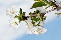 Ramifichi con i fiori Fotografie Stock Libere da Diritti