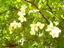 Ramifichi con i fiori Fotografia Stock