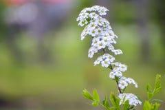 Ramifichi con i fiori bianchi Immagini Stock