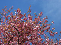 Ramifichi con i fiori dei fiori della molla Fotografia Stock