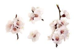 Ramifichi con i fiori dell'albicocca isolati su fondo bianco Vista superiore Disposizione piana Insieme o raccolta Fotografia Stock