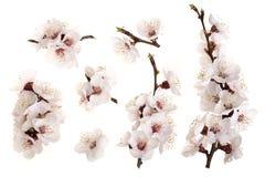 Ramifichi con i fiori dell'albicocca isolati su fondo bianco Vista superiore Disposizione piana Insieme o raccolta Immagine Stock