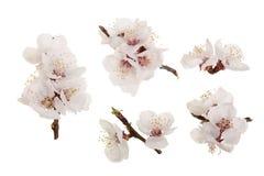 Ramifichi con i fiori dell'albicocca isolati su fondo bianco Vista superiore Disposizione piana Insieme o raccolta Immagini Stock