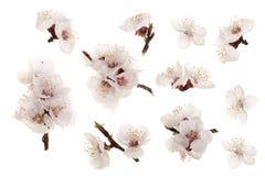 Ramifichi con i fiori dell'albicocca isolati su fondo bianco Vista superiore Disposizione piana Insieme o raccolta Fotografia Stock Libera da Diritti