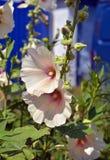 Ramifichi con i fiori della malva e dei germogli Fotografie Stock