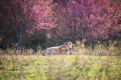 Ramifichi con i fiori e la mucca rosa di sakura Fotografia Stock