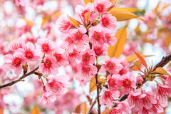 Ramifichi con i fiori rosa Fotografia Stock Libera da Diritti
