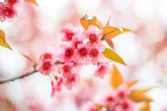 Ramifichi con i fiori rosa Fotografia Stock