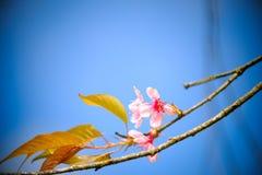 Ramifichi con i fiori rosa dei fiori di sakura Sfondo naturale agli altopiani Fotografia Stock