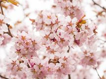 Ramifichi con i fiori Sakura I cespugli di fioritura abbondanti con il rosa germoglia i fiori di ciliegia Fotografia Stock Libera da Diritti