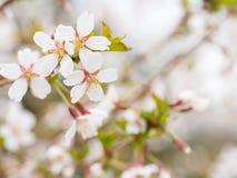 Ramifichi con i fiori Sakura I cespugli di fioritura abbondanti con il rosa germoglia i fiori di ciliegia in primavera Fotografie Stock