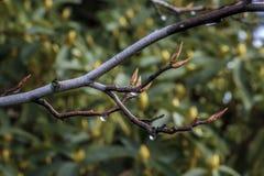 Ramifichi con i germogli e Raindropsn della primavera immagine stock