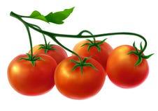 Ramifichi con i pomodori freschi Fotografia Stock