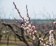 Ramifichi con il bello fiore dell'albicocca Immagini Stock Libere da Diritti