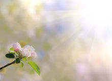 Ramifichi con il fiore della mela al sole Fotografia Stock