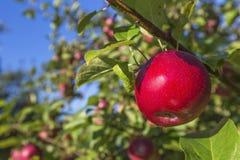 ramifichi con la frutta Fotografia Stock Libera da Diritti