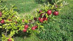 ramifichi con la frutta Immagine Stock