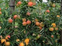 ramifichi con la frutta Immagini Stock