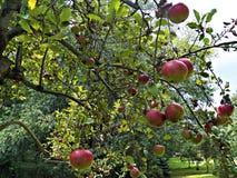 ramifichi con la frutta Fotografie Stock