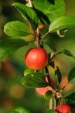Ramifichi con la mela rossa Fotografia Stock