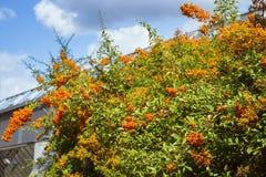 Ramifichi con le bacche dell'olivello spinoso e delle foglie verdi Immagini Stock