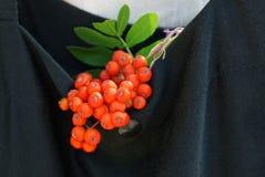 Ramifichi con le bacche rosse della cenere e delle foglie verdi di montagna in una borsa del panno nero Fotografia Stock Libera da Diritti