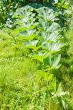 Ramifichi con le foglie dello zucchini Fotografia Stock