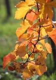 Ramifichi con le foglie di autunno sulla vite Fotografia Stock