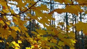 Ramifichi con le foglie gialle contro la luce solare stock footage