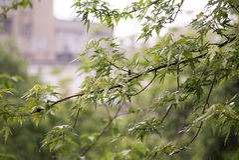 Ramifichi con le giovani foglie durante la pioggia di molla pesante Immagini Stock
