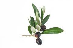 Ramifichi con le olive Fotografia Stock