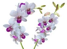 Ramifichi con le orchidee dei fiori bianchi Fotografie Stock