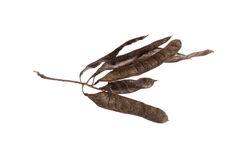 Ramifichi con le spine ed i semi dell'albero dell'acacia su un fondo bianco Fotografia Stock Libera da Diritti