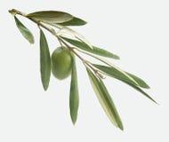 Ramifichi con oliva Fotografia Stock Libera da Diritti