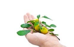Ramifique com as ameixas maduras na mão de um homem Imagem de Stock Royalty Free