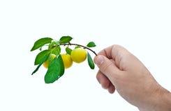 Ramifique com as ameixas maduras na mão de um homem Fotografia de Stock