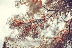 Ramifique com as bagas das folhas do espinheiro cerval e do verde de mar em um backg Fotos de Stock