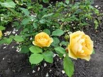 Ramifique com as duas flores amarelas brilhantes de uma rosa e dos botões em um arbusto cor-de-rosa Imagem de Stock