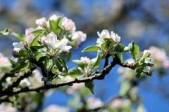 Ramifique com as flores brancas de Apple na mola, céu azul brilhante Fotos de Stock Royalty Free