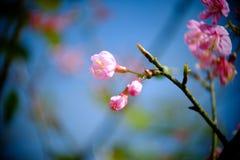 Ramifique com as flores cor-de-rosa das flores de sakura Fundo natural em montanhas Fotografia de Stock