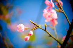 Ramifique com as flores cor-de-rosa das flores de sakura Fundo natural em montanhas Imagens de Stock