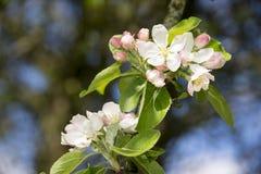 Ramifique com as flores cor-de-rosa e brancas da flor da maçã Fotos de Stock Royalty Free