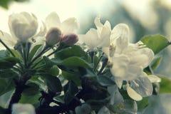 Ramifique com as flores da maçã no período de florescência Fotografia de Stock