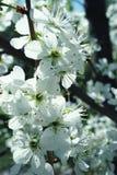 Ramifique com as flores da maçã no período de florescência Imagens de Stock Royalty Free