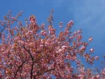 Ramifique com as flores das flores da mola Fotografia de Stock